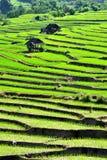 Campo del arroz del paso de progresión Imagenes de archivo