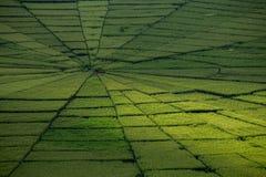 Campo del arroz del web de araña en Ruteng Fotografía de archivo