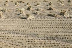 Campo del arroz después de la cosecha Imagen de archivo libre de regalías