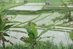 Campo del arroz en Bali, Indonesia Imagen de archivo libre de regalías