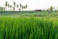 Campo del arroz en Bali, Indonesia Imagen de archivo