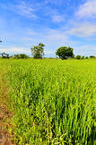 Campo del arroz en el campo Imagen de archivo libre de regalías