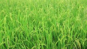 Campo del arroz en el viento almacen de metraje de vídeo