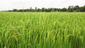 Campo del arroz en el viento metrajes