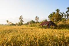 Campo del arroz en fondo de la puesta del sol Imágenes de archivo libres de regalías