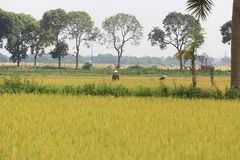 Campo del arroz en la estación de la cosecha fotografía de archivo