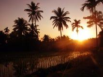 Campo del arroz en la salida del sol Foto de archivo