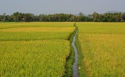 Campo del arroz en Phu Yen, Vietnam Imágenes de archivo libres de regalías