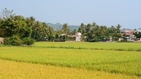 Campo del arroz en Phu Yen, Vietnam Imagen de archivo libre de regalías