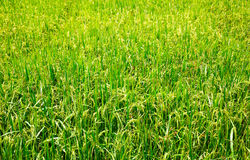 Campo del arroz en plantación del arroz de Sri Lanka, Ceilán Imágenes de archivo libres de regalías
