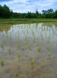 Campo del arroz en Tailandia Fotografía de archivo