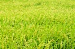 Campo del arroz en Tailandia Foto de archivo libre de regalías