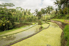 Campo del arroz en Ubud, Bali Fotos de archivo libres de regalías