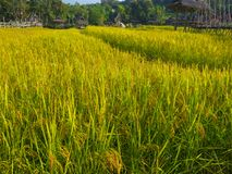 Campo del arroz del granjero y del sol por la mañana, en Tailandia imagen de archivo libre de regalías