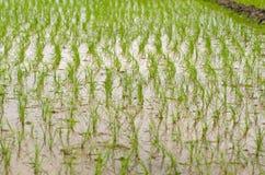 Campo del arroz inundado con agua Imágenes de archivo libres de regalías