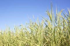 Campo del arroz listo para la cosecha fotografía de archivo