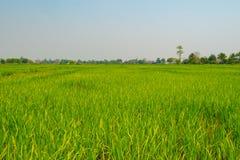 campo del arroz del paisaje en el norte de Tailandia foto de archivo