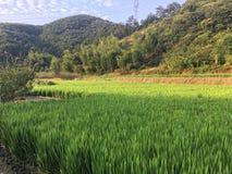 Campo del arroz por la montaña Imagenes de archivo