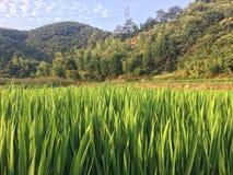 Campo del arroz por la montaña Fotos de archivo