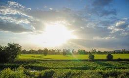Campo del arroz por la tarde Foto de archivo libre de regalías