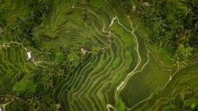 Campo del arroz que crea una formación geométrica foto de archivo