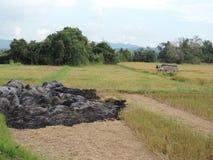 Campo del arroz que quema después de cosechar foto de archivo