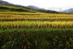Campo del arroz, Vietnam Foto de archivo libre de regalías