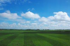 Campo del arroz y el cielo azul Imagen de archivo libre de regalías