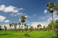 Campo del arroz y la palma de azúcar Fotografía de archivo