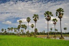 Campo del arroz y la palma de azúcar Fotografía de archivo libre de regalías