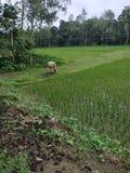 Campo del Bangladesh del villaggio con la mucca e molti alberi immagini stock