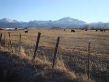 Campo del bestiame Fotografie Stock Libere da Diritti