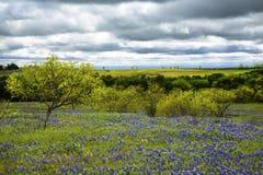 Campo del Bluebonnet debajo de los cielos nublados cerca de Ennis, Tejas imágenes de archivo libres de regalías
