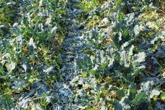 Campo del bróculi después de la cosecha foto de archivo libre de regalías