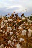 Campo del brote del algodón Foto de archivo libre de regalías