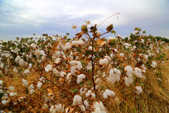Campo del brote del algodón Imagenes de archivo