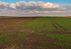 Campo del brote del trigo de invierno imágenes de archivo libres de regalías