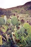 Campo del cactus Imagen de archivo libre de regalías