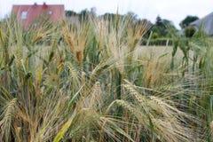 Campo del campo de la cebada con la cebada en las cercanías del pueblo Fotos de archivo