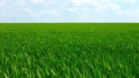 Campo del centeno de la primavera hermosa y del primer verdes del trigo para la industria verde La hierba se sacude en el viento metrajes