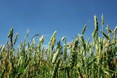 Campo del centeno o trigo y cielo azul, prado hermoso del campo imagenes de archivo