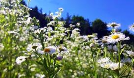 Campo del cielo azul de las margaritas Imagenes de archivo