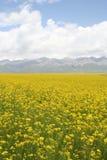 Campo del col, MenYuan, QingHai, China Imagen de archivo libre de regalías