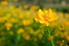 Campo del cosmos amarillo Fotos de archivo