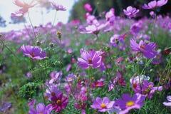 Campo del cosmos y sombra rosados de Sun Fotografía de archivo libre de regalías