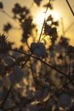 Campo del cotone Fotografie Stock Libere da Diritti