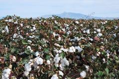 Campo del cotone con le fioriture Immagini Stock
