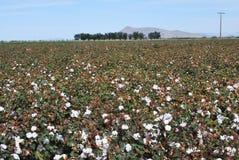 Campo del cotone in fioritura Immagini Stock Libere da Diritti