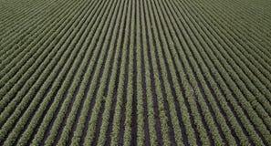 Campo del cotone nella campagna Fotografia Stock