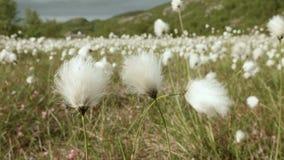Campo del cotone nella natura stock footage